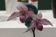 Paphiopedilum orkidé Royaltyfria Foton