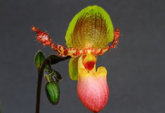 Paphiopedilum Pinocchio Стоковые Изображения RF