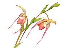 Paphiopedilum plant Royalty Free Stock Images
