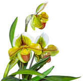Paphiopedilum In Shape Orchid Plant Royalty Free Stock Photography