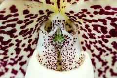 Paphiopedilum staminode Stock Foto