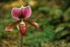 Paphiopedilum. The unusual shaped flower of a Paphiopedilum or Lady Slipper Orchid blooming in a garden in Thailand stock images