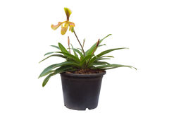 Paphiopedilum villosum Royalty Free Stock Images