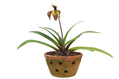 Paphiopedilum villosum Royalty Free Stock Photos
