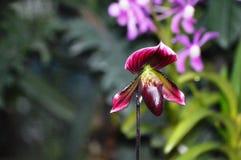 Paphiopedilum Vinicolor, Maudiae, Orchid Royalty Free Stock Photos