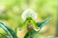 Paphiopedilumcallosum Arkivfoton