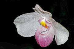Paphiopedilumorchidee of Pantoffelorchidee Royalty-vrije Stock Afbeelding