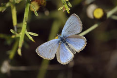 Paphos Blue Butterfly Royalty Free Stock Photo