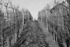 Papier peint blanc de fond de dos d'hiver de raisins Photos stock