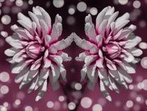 Papier peint de fond de bokeh de réflexion de fleur blanche Images libres de droits