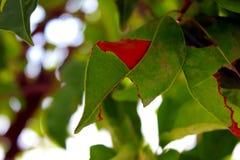 Papier peint vert naturel de fond de feuille de figue sacrée Images stock