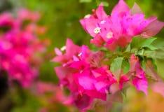 Papierblumenbouganvilla träumerisch Stockfotos