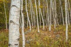 Papierowa brzoza i las podłoga obraz stock