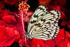 Papierowa kania, Ryżowy papieru czarny i biały motyl (pomysłu leuconoe) Obraz Stock