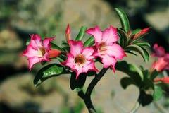 Papierowe okwitnięcia, menchii azalii Impala lelui kwiatu purpury z sumiasty pięknym na tle lub fotografia stock