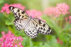Papierowej kani motyli zbieracki nektar od różowych kwiatów (drzewna boginka) Obraz Stock
