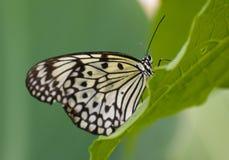 papierowi motyli ryż Obraz Stock
