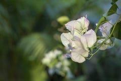 Papierowy flowe (Bougainvillea) Zdjęcie Stock