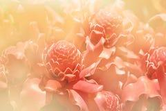 Papierowy kwiat, pochodnia imbir & x28; Etlingera elatior& x29; zdjęcia royalty free