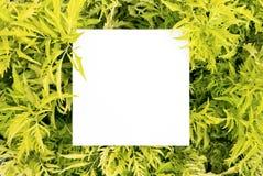 Papierspott herauf weiße Karte auf einem grünen Polyscias verlässt Kreatives L Stockfotografie