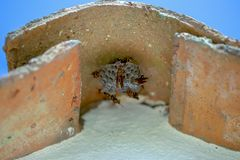 Papierwespen, die ein Nest unter einer spanischen Dachplatte errichten stockbild