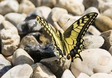 Papilio蝴蝶 免版税库存照片