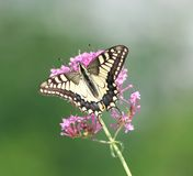 Papilio Stock Foto
