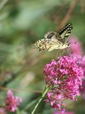 Papilio 免版税库存照片