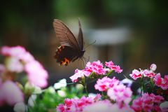 Papilio Lizenzfreies Stockfoto