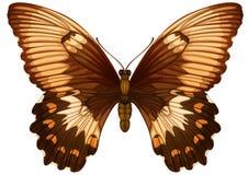 Papilio aegeus Royalty Free Stock Images