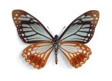 Papilio agestor (underside) Stock Photo