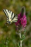 Papilio alexanor. Southern Swallowtail (papilio alexanor) from Greece stock image