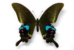 Papilio arcturus. Specimen of Papilio arcturus swallowtail from China royalty free stock images