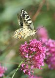 Papilio Royalty Free Stock Images