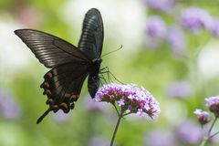 Papilio bianor on flower Royalty Free Stock Photos