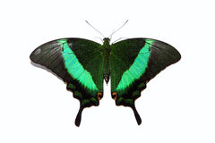 Papilio blumei butterfly isolated on white Stock Images