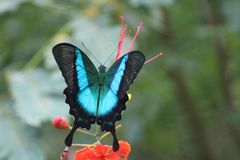 Papilio buddha butterfly stock photography