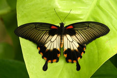 Free Papilio Butterfly Royalty Free Stock Photo - 4492475