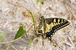 Papilio butterfly Royalty Free Stock Image