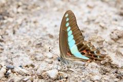 Papilio Stock Image