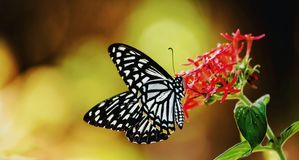 Papilio clytia, the common mime royalty free stock image