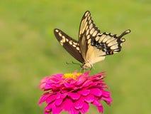 Papilio Cresphontes, γιγαντιαία πεταλούδα Swallowtail Στοκ φωτογραφίες με δικαίωμα ελεύθερης χρήσης