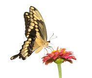 Papilio Cresphontes, γιγαντιαία πεταλούδα Swallowtail Στοκ Φωτογραφία