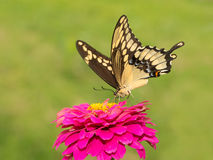 Papilio cresphontes, Giant Swallowtail butterfly Royalty Free Stock Photos