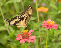 Papilio cresphontes, Giant Swallowtail butterfly Royalty Free Stock Photography