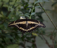 Papilio cresphontes. The large swallowtail are drinking nectar from the flower Royalty Free Stock Photos