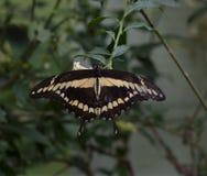 Papilio cresphontes Royalty Free Stock Photos