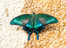 Papilio dehaanii Stock Photos