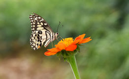 papilio demodocus цитруса бабочки Стоковое фото RF