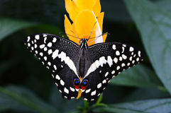 Papilio Demodocus. Rare African Papilio Demodocus butterfly on a yellow flower royalty free stock photo